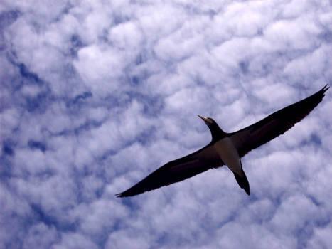 Alcatraz Pardo (Sula leucogaster)