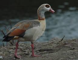 Egyptian Goose 1