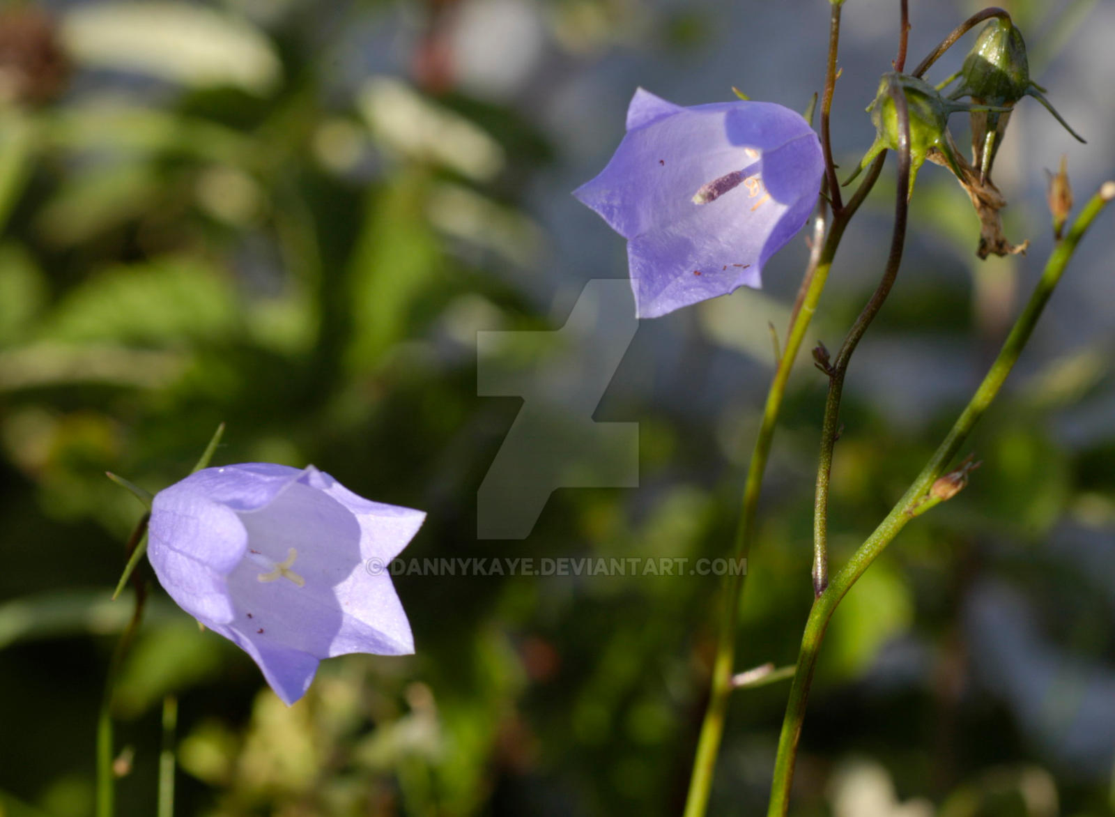 burren flower 1 by dannykaye