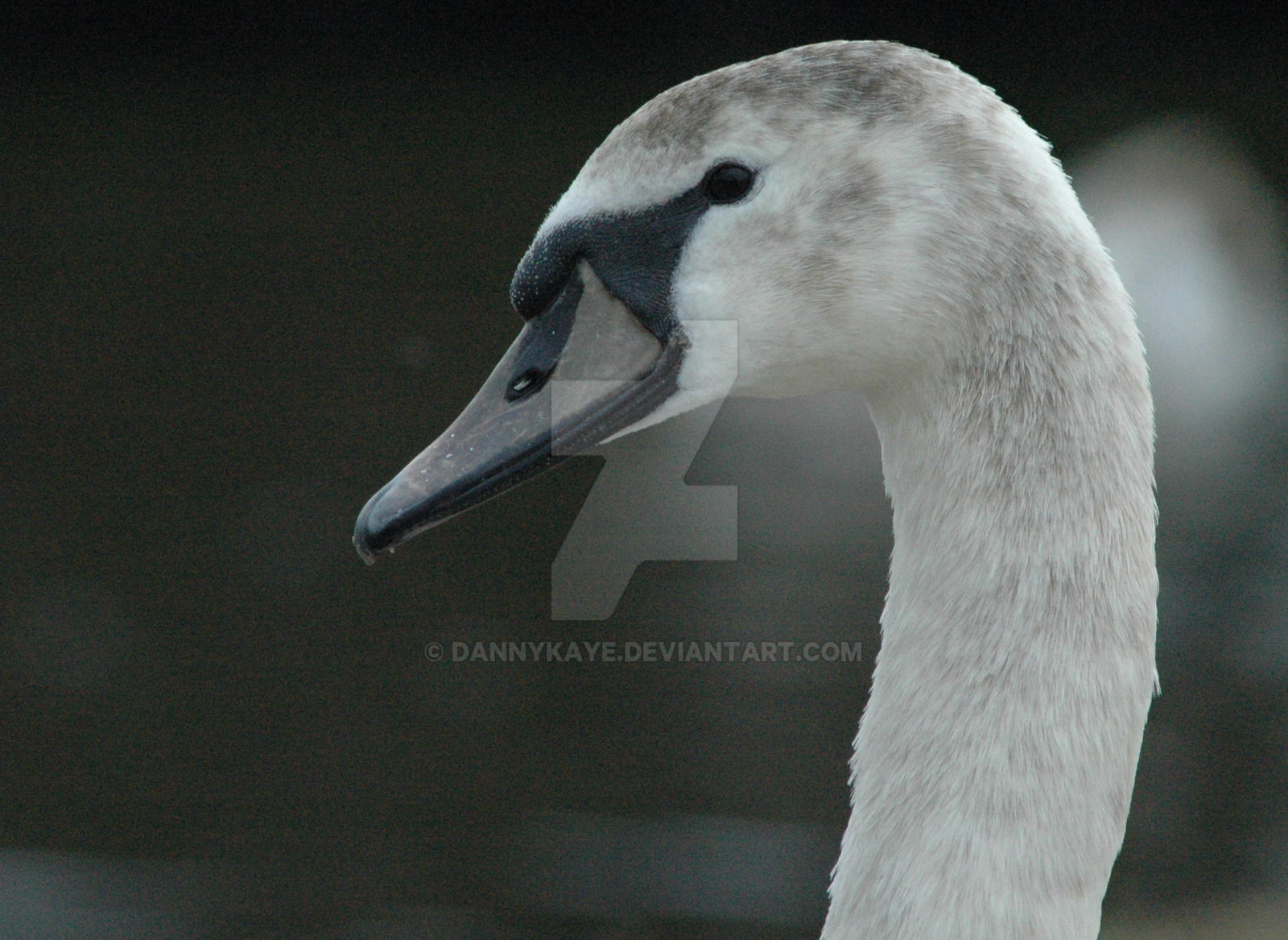 Swan 1 by dannykaye