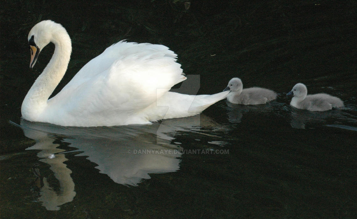 Swan 2 by dannykaye