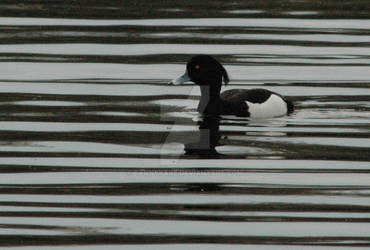 Tufted Duck 1