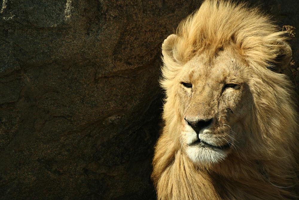 Panthera leo by hobitek