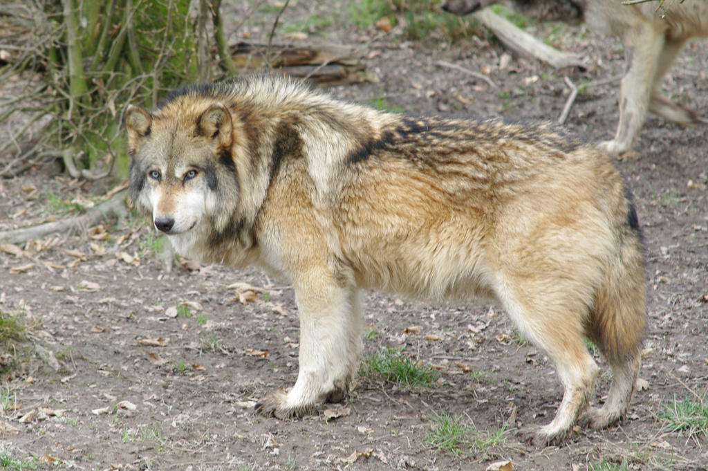 big wolf video