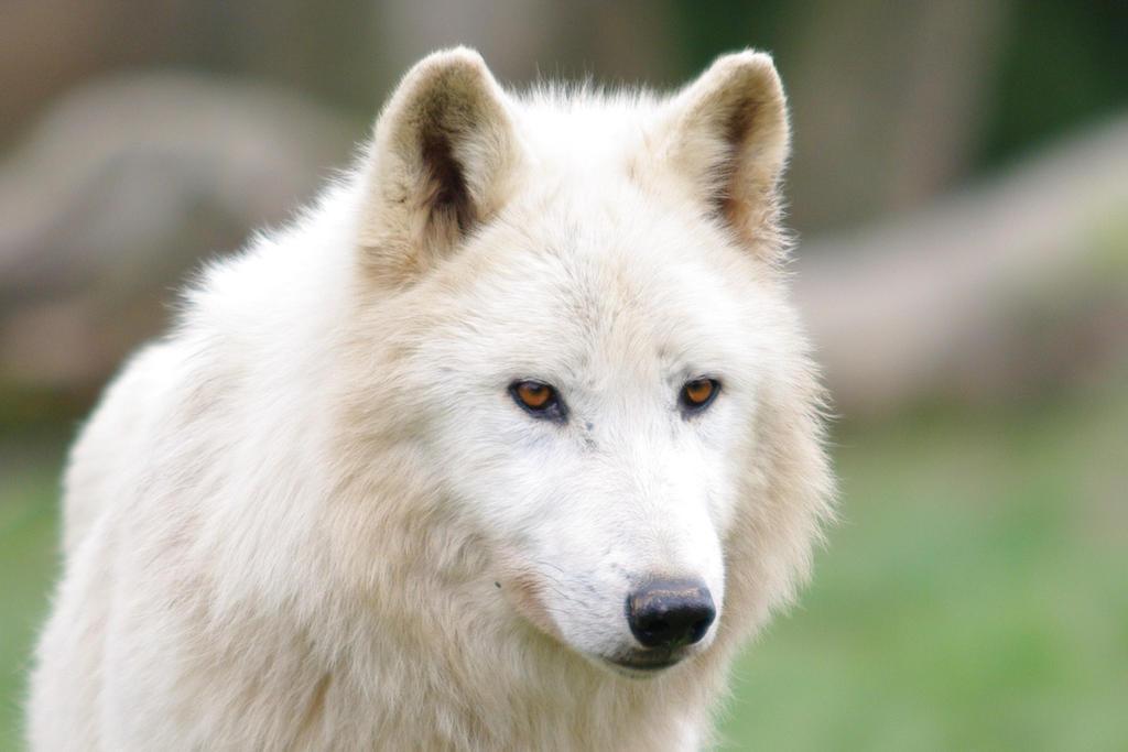 Arctic wolf 2 by nashoba67