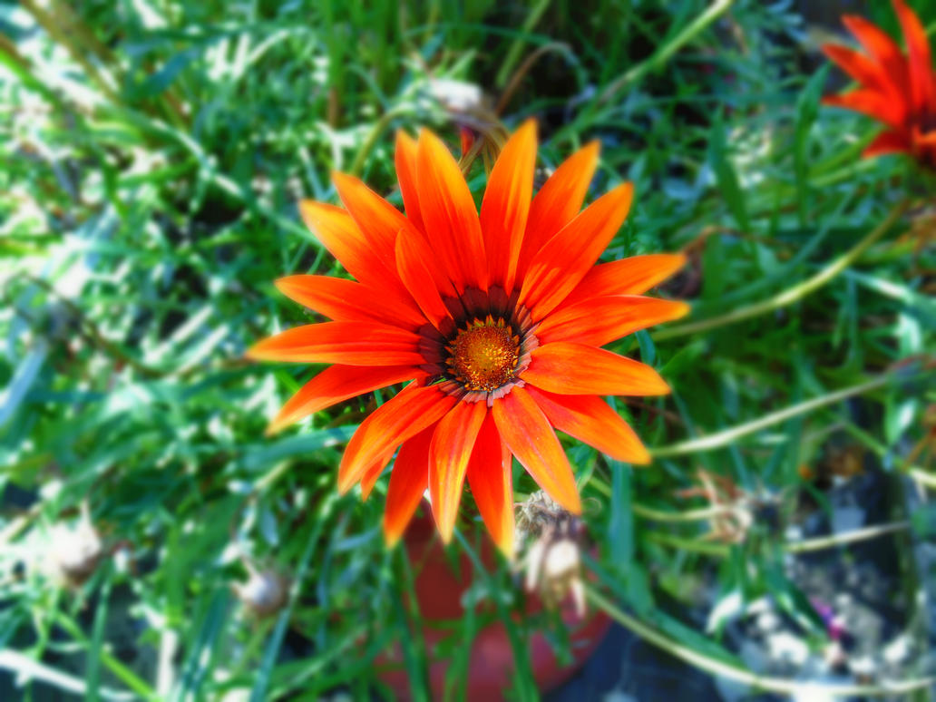 Orange Flower - Edited by rfclassie