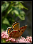spoty butterfly