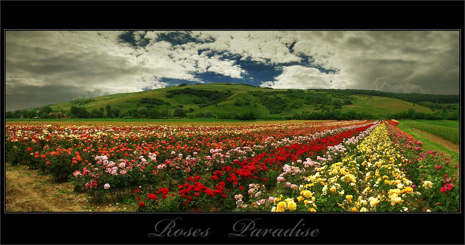 roses paradise by adypetrisor