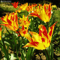 colorful tulips by adypetrisor