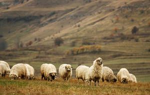 sheep by adypetrisor