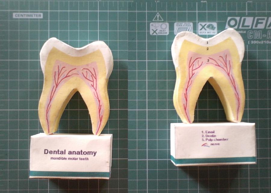 dental anatomy papercraft by kymerazero