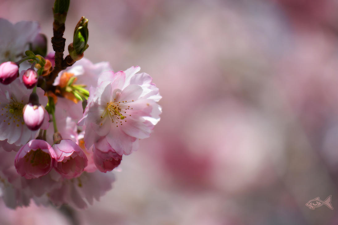 Cherry Blossoms 1 by eyefish