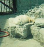Baby Polarbear by jeweliaz