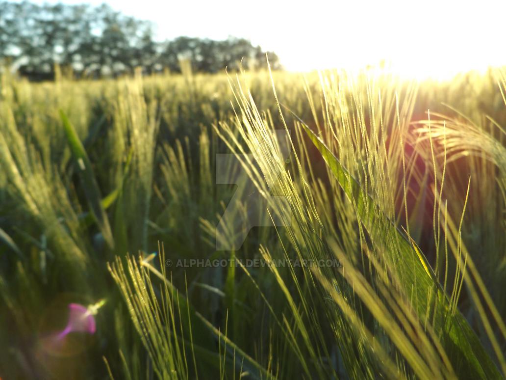 Wheat by Alphagoth