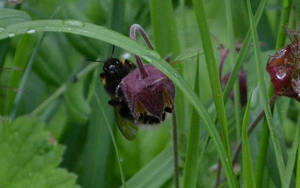 Peeking bumble bee by clairestevenson
