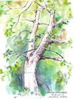 Sketchbook - Backyard tree