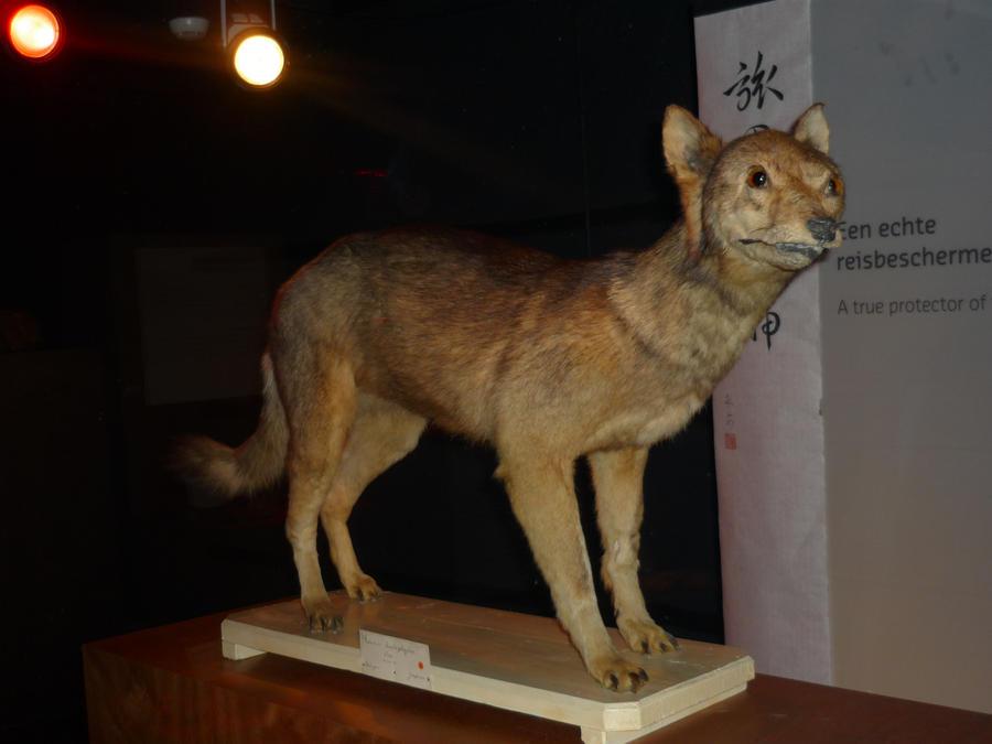 Extinct Japanese Wolf By DiardiWolf On DeviantArt