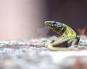 Reptile-lizard