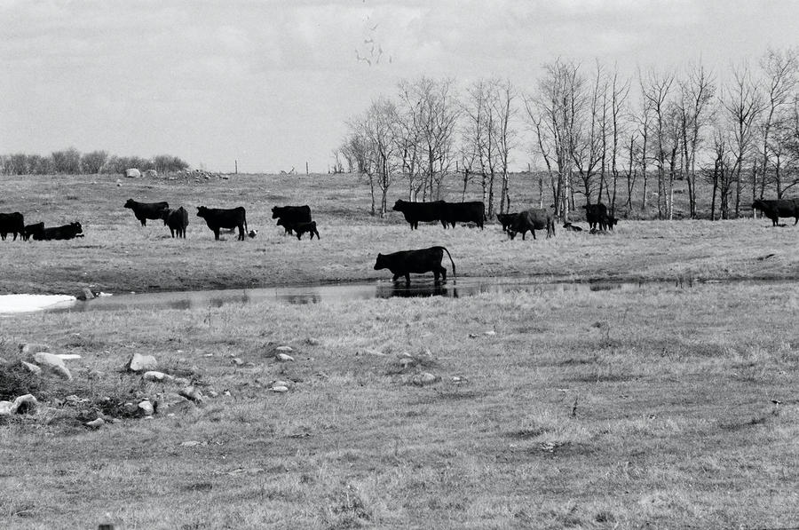 Till The Cows Come Home Download