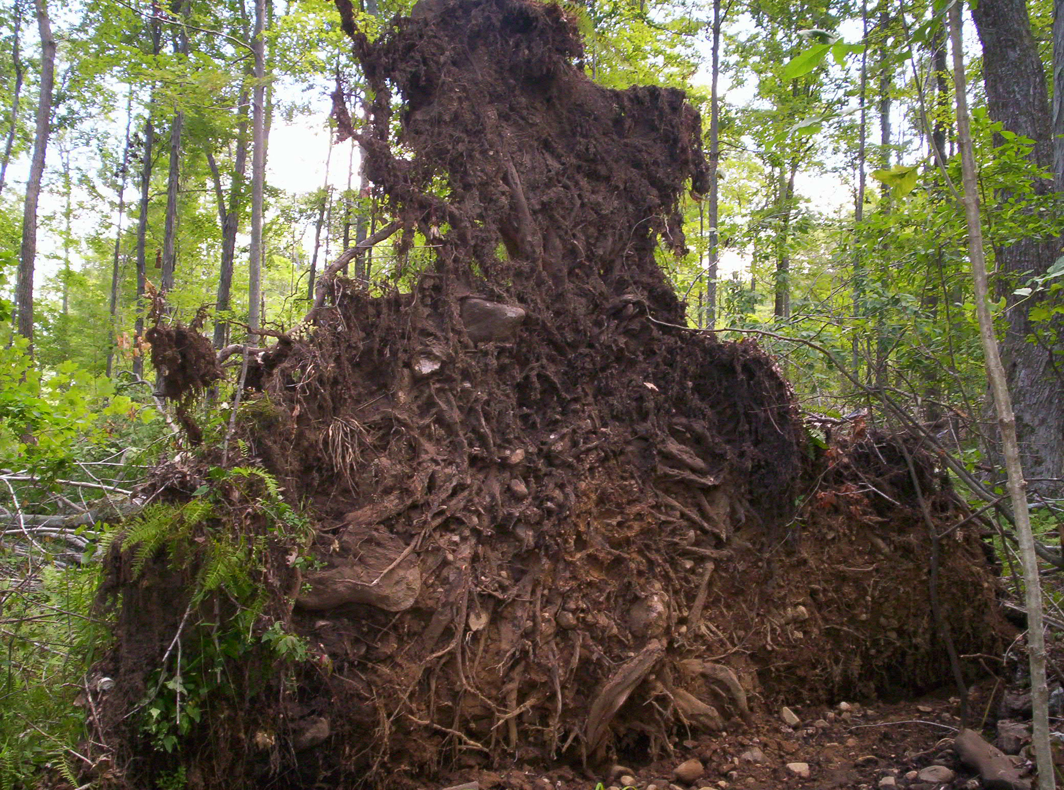 Freakin' Huge Stump