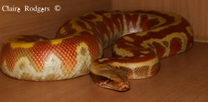 Our Frankie  a red blood python (vpi t+ albino)