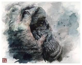 Chimpanzee by CamillaMalcus
