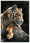 The Tigress