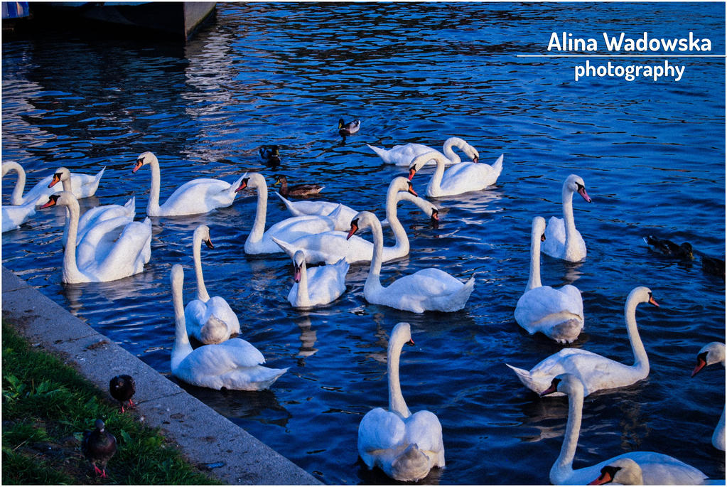 Swans 2 by LynnsMind