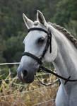 Grey Arabian (7) Braided Headshot Stock