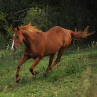 Quarter Horse Galloping Stock