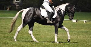 Paint Horse Dressage Stock 2