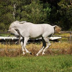 Egyptian Arabian Head Throw Canter 2 by naturalhorses