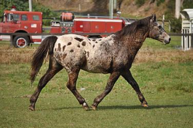 Appaloosa Trot 1 by naturalhorses