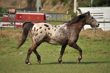 Appaloosa Trot 2 by naturalhorses