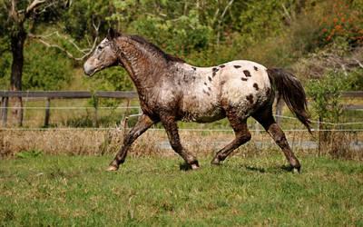 Appaloosa Trot 3 by naturalhorses