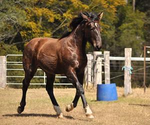 Warmblood Colt Trot 1 by naturalhorses