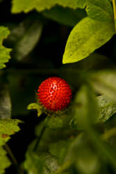 Wild strawberry by photo-exile