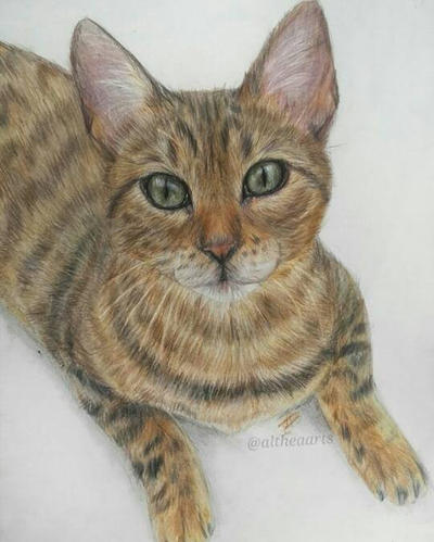 Cat drawing with colour pencil by AltheaWorld