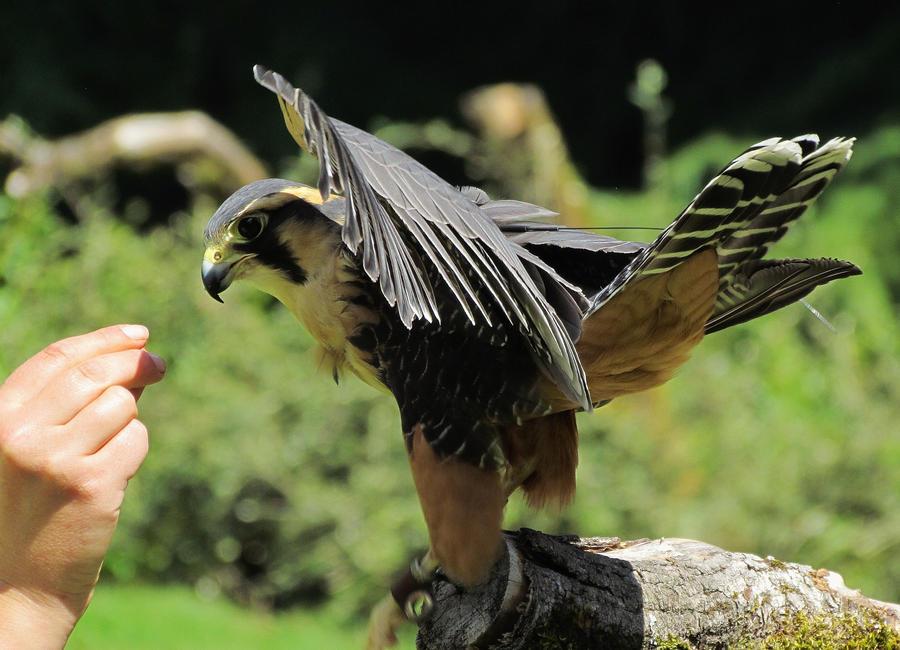 Aplomado Falcon by BountyHunterMacko