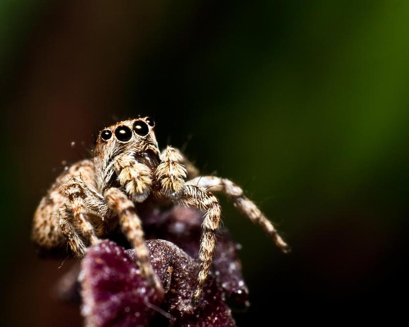 http://fc03.deviantart.net/fs70/i/2010/295/a/b/jumping_spider_by_maltfalc-d319nqu.jpg