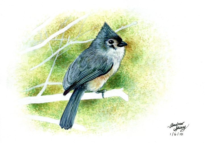 tufted titmouse w.c. painting by silentsketcher