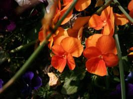 orange pansy by dakki000