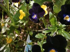 violet pansy by dakki000
