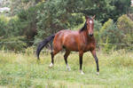 Bay Horse Stock Prancing