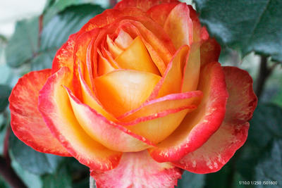 Rose by vampirebites18