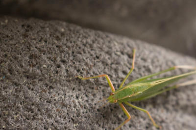 Insect Photography: Green Grasshopper by vampirebites18