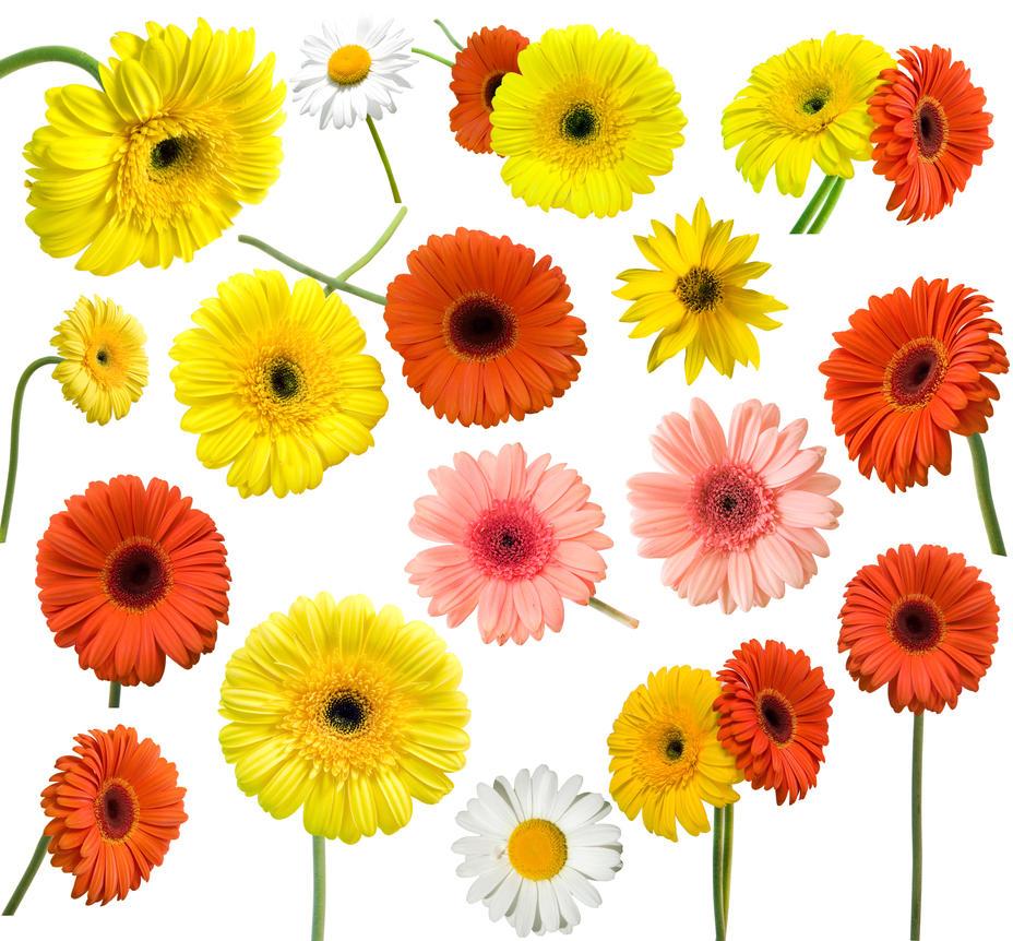 Collection of daisy flower by ilyaafanasyev on deviantart collection of daisy flower by ilyaafanasyev izmirmasajfo Choice Image