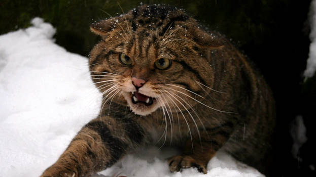 Scottish Wildcat 9