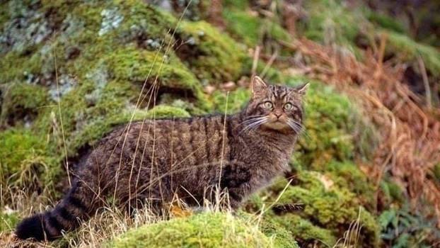 Scottish Wildcat 10