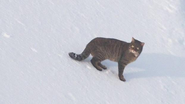 Scottish Wildcat 11